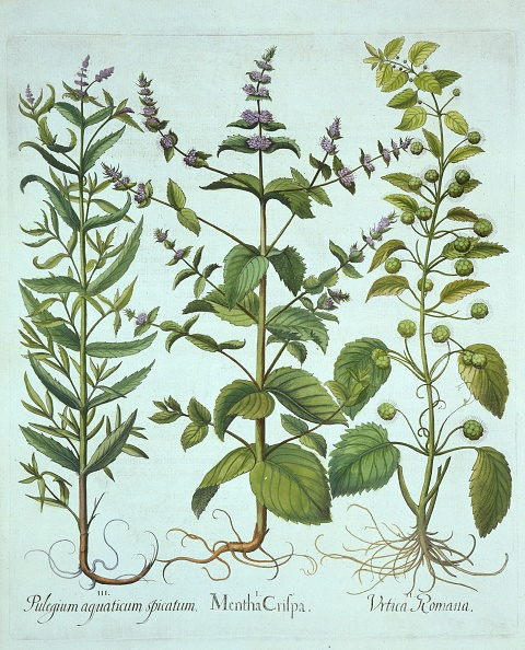 Mint Leaf - Culinary「Spearmint」:写真・画像(1)[壁紙.com]