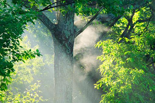 夏「Woods and morning mist」:スマホ壁紙(16)
