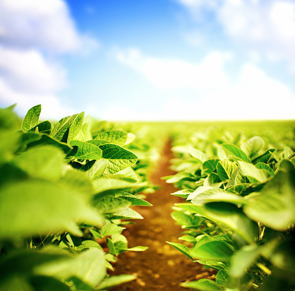 Soybean「Soybean plants」:スマホ壁紙(15)