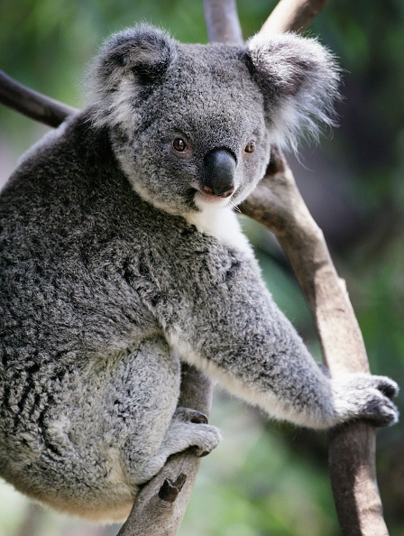 Koala「Australia Day: Aussie Icons」:写真・画像(3)[壁紙.com]