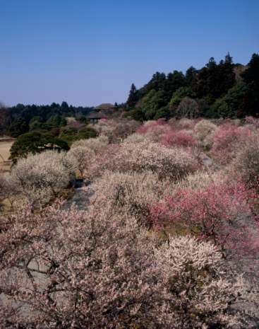 梅の花「Kairaku-en, Mito, Ibaraki, Japan」:スマホ壁紙(3)