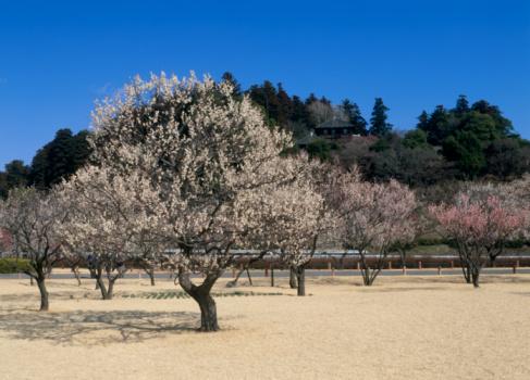 梅の花「Kairaku-en, Mito, Ibaraki, Japan」:スマホ壁紙(2)