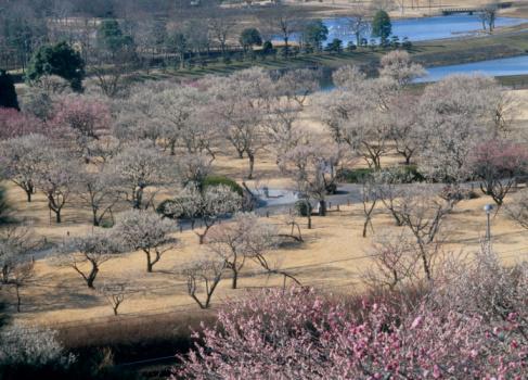梅の花「Kairaku-en, Mito, Ibaraki, Japan」:スマホ壁紙(15)