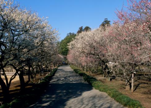 梅の花「Kairaku-en, Mito, Ibaraki, Japan」:スマホ壁紙(1)