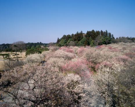 梅の花「Kairaku-en, Mito, Ibaraki, Japan」:スマホ壁紙(4)