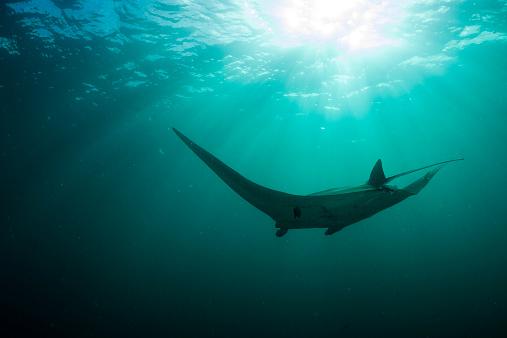 マンタ「Oceania, Micronesia, Yap, Reef manta ray, Manta alfredi」:スマホ壁紙(14)