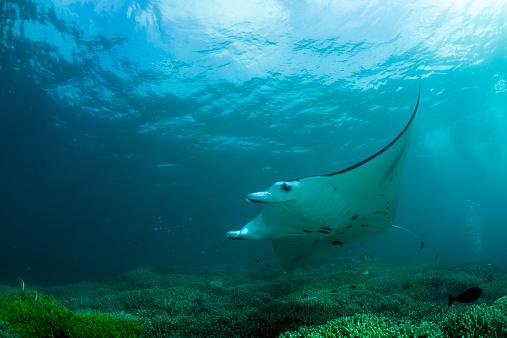 Manta「Oceania, Micronesia, Yap, Reef manta ray, Manta alfredi」:スマホ壁紙(15)