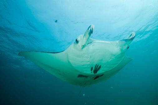 熱帯魚「Oceania, Micronesia, Yap, Reef manta ray, Manta alfredi」:スマホ壁紙(0)
