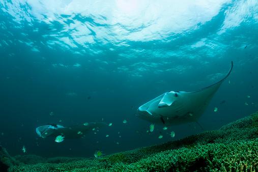 熱帯魚「Oceania, Micronesia, Yap, Reef manta ray, Manta alfredi」:スマホ壁紙(13)