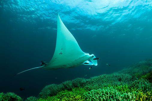 Manta「Oceania, Micronesia, Yap, Reef manta ray, Manta alfredi」:スマホ壁紙(5)