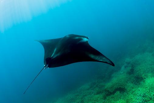 Manta「Oceania, Micronesia, Yap, Reef manta ray, Manta alfredi」:スマホ壁紙(11)