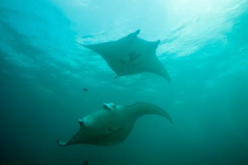 熱帯魚「Oceania, Micronesia, Yap, Reef manta rays, Manta alfredi」:スマホ壁紙(12)