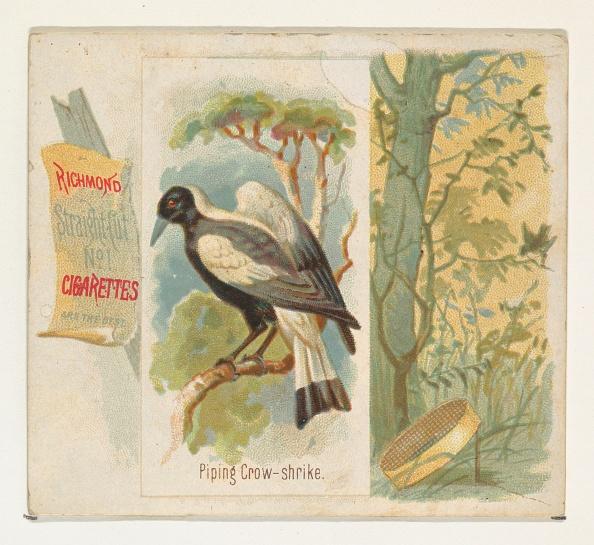 Songbird「Piping Crow-Shrike」:写真・画像(2)[壁紙.com]
