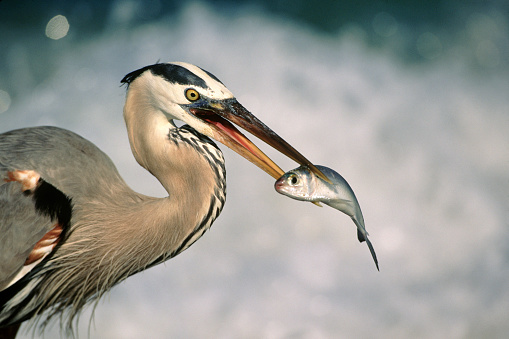 Beak「Great blue heron eating」:スマホ壁紙(6)
