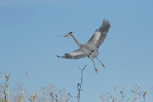 小枝「Great Blue Heron approaching nest」:スマホ壁紙(6)