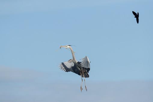 小枝「Great Blue Heron approaching nest」:スマホ壁紙(5)