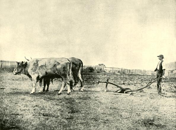 Agriculture「A Bullock Plough Team」:写真・画像(4)[壁紙.com]
