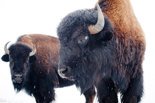 Horned「USA, Maine, Two bisons in winter」:スマホ壁紙(5)