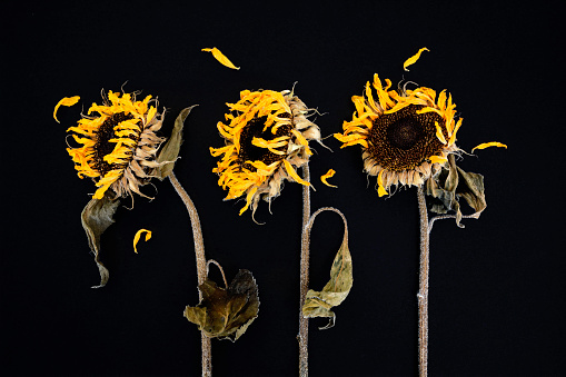 ひまわり「Three withered sunflowers in front of black background」:スマホ壁紙(18)
