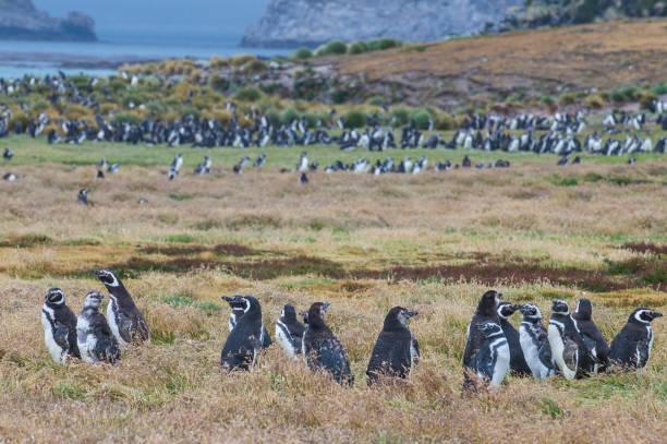 UK, Falkland Islands, Magellanic penguin (Spheniscus magellanicus) colony on Carcass Island:スマホ壁紙(壁紙.com)
