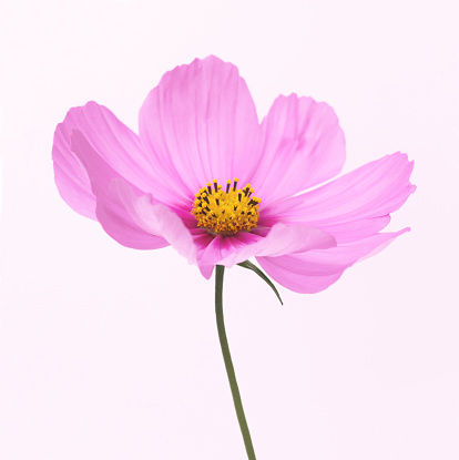 Cosmos Flower「Dainty pink cosmos flower with painterly quality」:スマホ壁紙(15)