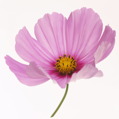 Cosmos Flower「Dainty pink cosmos flower in close-up on white」:スマホ壁紙(4)