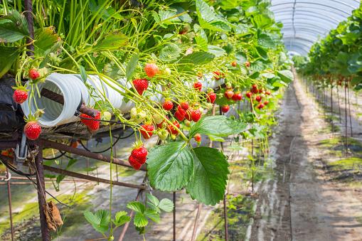 Fertilizer「Berry farm in Scotland, UK.」:スマホ壁紙(15)