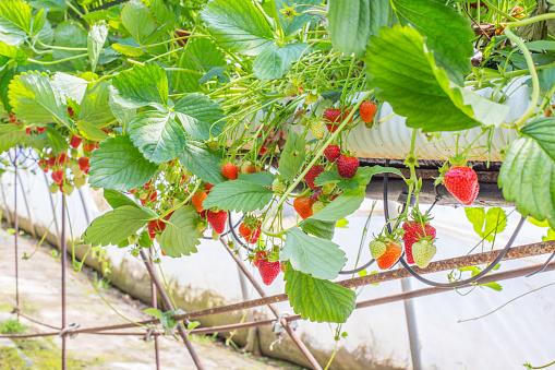 Fertilizer「Berry farm in Scotland, UK.」:スマホ壁紙(16)