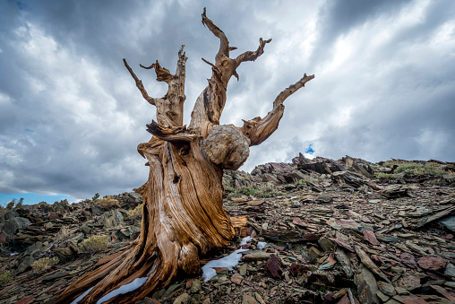 Inyo National Forest「Storm Clouds in the Bristlecone Forest」:スマホ壁紙(2)