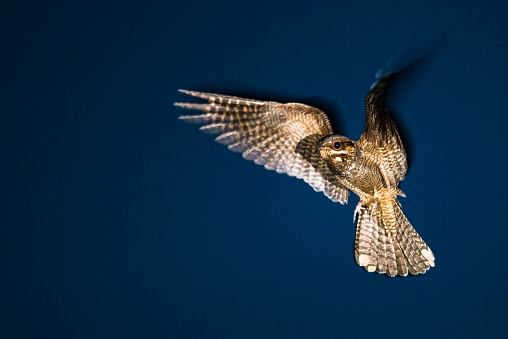 Animal Wing「European nightjar in flight at dusk」:スマホ壁紙(11)