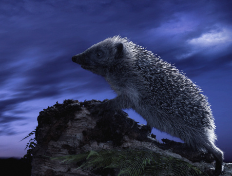 ハリネズミ「Hedgehog on tree stump, side view, dusk (Digital Composite)」:スマホ壁紙(17)
