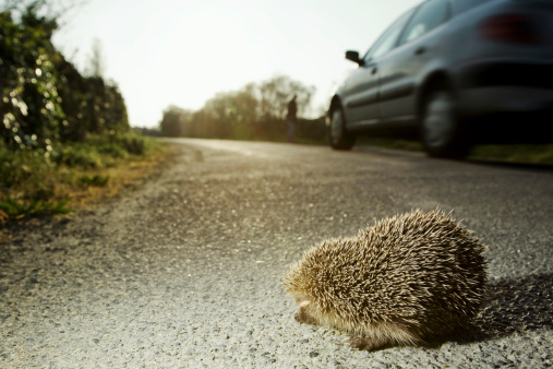 Hedgehog「Hedgehog on roadside」:スマホ壁紙(2)