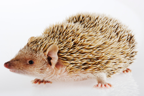 ハリネズミ「Hedgehog on white background, close-up」:スマホ壁紙(10)