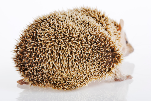 ハリネズミ「Hedgehog on white background, close-up」:スマホ壁紙(9)