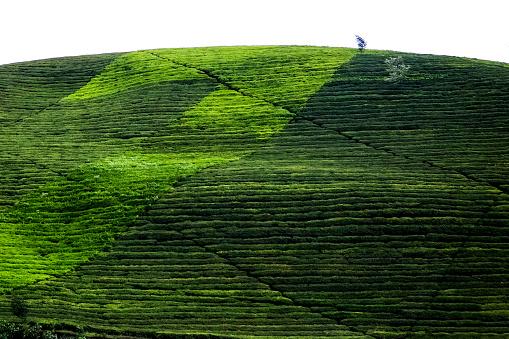 Tea「Plantation Hills」:スマホ壁紙(15)