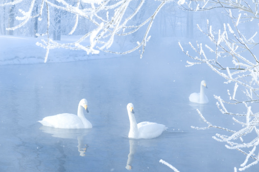 野生動物「Three Swans in Pond in Winter」:スマホ壁紙(16)