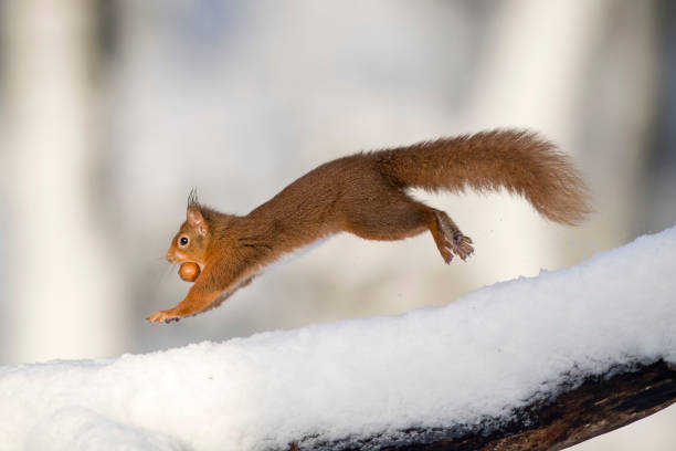 Jumping Eurasian red squirrel with nut in winter:スマホ壁紙(壁紙.com)
