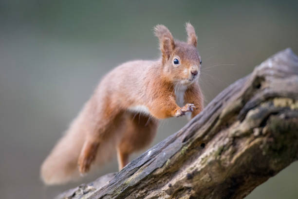 Jumping Eurasian red squirrel:スマホ壁紙(壁紙.com)