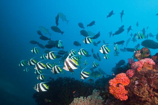 Arafura Sea「Longfin Bannerfish over Coral Reef, Indonesia」:スマホ壁紙(11)