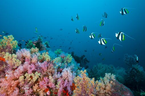 Arafura Sea「Longfin Bannerfish over Soft Coral Reef, Indonesia」:スマホ壁紙(17)