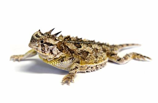 Horned「Isolated Texas Horned Lizard - Horny toad」:スマホ壁紙(19)