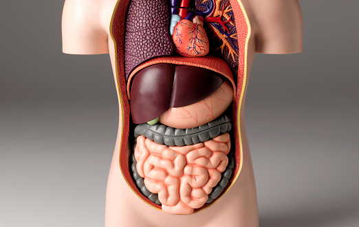 Human Internal Organ「Stomach pain model」:スマホ壁紙(14)