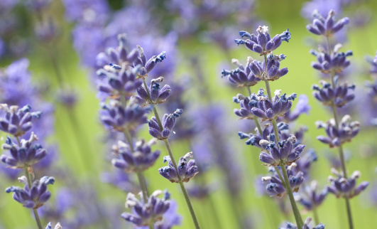 French Lavender「lavander」:スマホ壁紙(0)