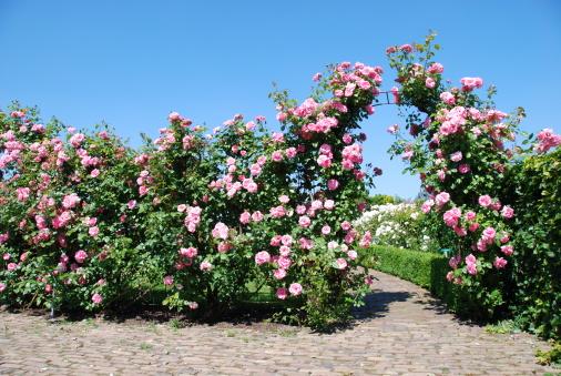 薔薇「花開くバラ園」:スマホ壁紙(15)