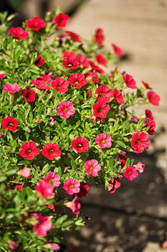 ペチュニア「Red Calibrachoa Million Bells Series Flowers」:スマホ壁紙(11)