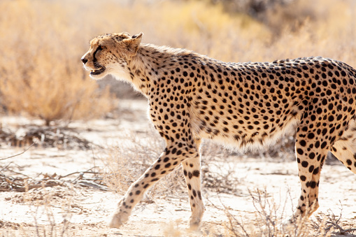 African Cheetah「Cheetah looking for prey in the Kgalagadi park, South Africa」:スマホ壁紙(11)