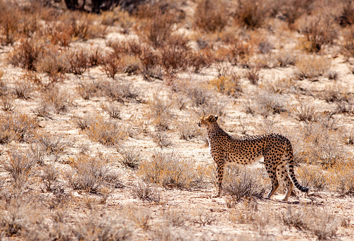 African Cheetah「Cheetah looking for prey in the Kgalagadi park, South Africa」:スマホ壁紙(2)