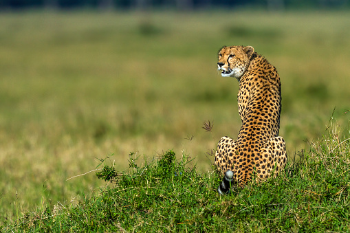 African Cheetah「Cheetah looking for prey from top of an ant hill in Masai Mara.Cheetah looking for prey in Masai Mara.」:スマホ壁紙(2)