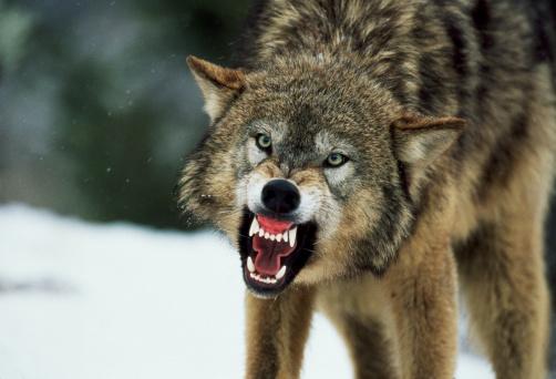 Wolf「Snarling gray wolf」:スマホ壁紙(19)
