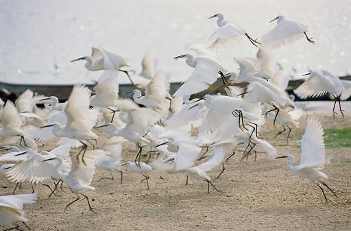 Lake Victoria「Egrets Taking Off」:スマホ壁紙(9)